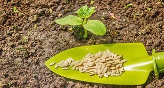 Особенности выращивания кабачков
