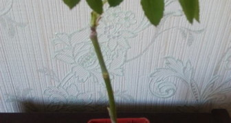 Роза из букета. фото