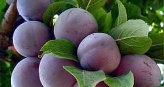 Как увеличить урожайность сливы