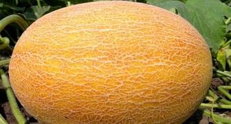 Как получить богатый урожай дыни - 12 важных советов