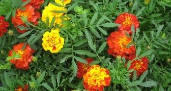 Польза бархатцев на огороде и в саду