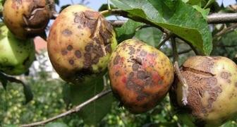 Парша яблони - причины заражения, симптомы и способы лечения