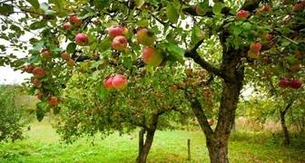 Подкормка яблонь летом - лучшие органические и минеральные удобрения