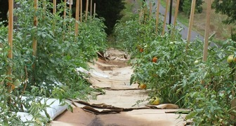 Что предпринять, чтобы между грядками не росли сорняки