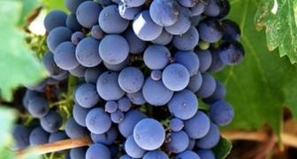 Как вырастить вкусный виноград в домашних условиях