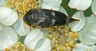 Подсолнечниковая шипоноска (лат. Моrdellistena parvula)