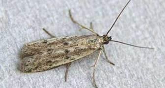 Подсолнечниковая огнёвка (лат. Homoeosoma nebulella) фото