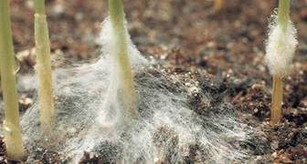 Снежная плесень (лат. Microdochium nivale)
