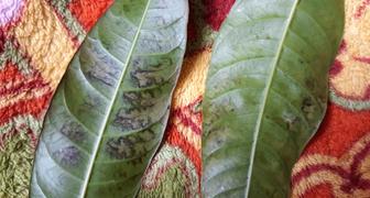 Тёмные пятна листьях манго фото