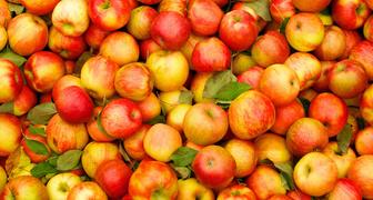 Лучшие сорта яблок для консервации, выпечки и приготовления соков