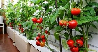 Помидоры на балконе - выращивание и уход в домашних условиях