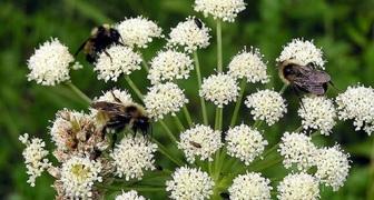 Лобисток - выращивание и уход. Польза растения и его применение