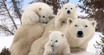 Международный день полярного медведя - защищаем животных и экологию