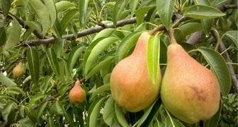 Не плодоносит груша - основные причины и способы повышения урожайности