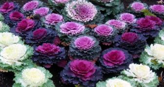 Декоративная капуста - отличное решение для создания цветника фото