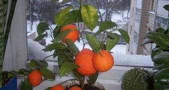 Выращиваем экзотический грейпфрут дома и добиваемся плодоношения