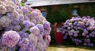 Не цветет гортензия - советы по решению проблемы от опытного садовода
