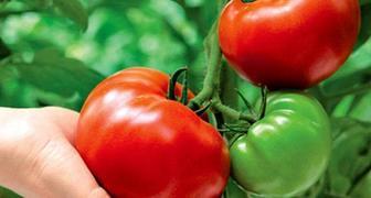Выращиваем томаты без полива по методу Казарина