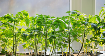 Урожайность помидор зависит от правильного высаживания рассады