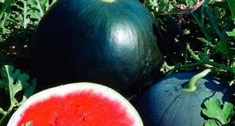 Арбуз Сахарный малыш: отзывы садоводов, описание сорта, выращивание