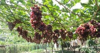 Укоренение черенков винограда в домашних условиях - основные правила
