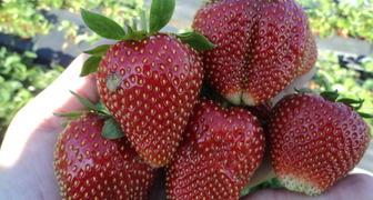 Клубника Вима Рина: отзывы, характеристики сорта, специфика выращивания