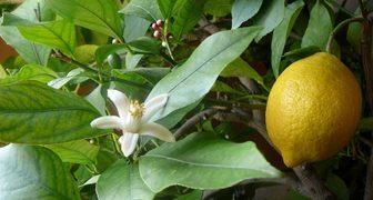 Павловский лимон - описание и фото сорта, техника выращивания фото