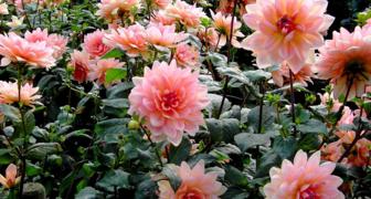 Выбираем удобрения, которые обеспечат пышное цветение пионов