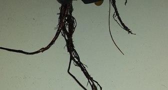 чернеют корни (клубника на гидропонике) фото