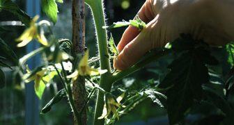 Выбираем методику пасынкования томатов по сорту и повышаем урожайность