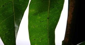 Черные точки на листьях манго фото