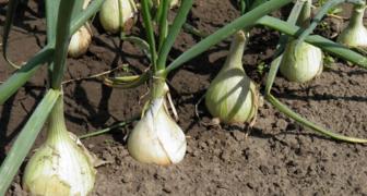 Выращиваем крупный и крепкий лук - 10 золотых правил