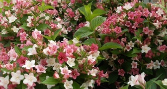 Вейгела в ландшафтном дизайне - создаем цветущий сад из кустарников