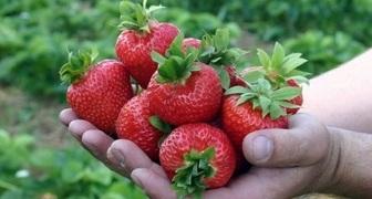 Клубника Медовое лето и Медовый вкус: характеристика, отзывы садоводов
