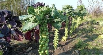 Брюссельская капуста - выращивание и уход в России, выбор сорта фото
