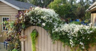 Клематис в саду - фото сортов и применение лиан в ландшафтном дизайне