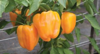 Повышаем урожайность перца за счет поэтапного формирования куста