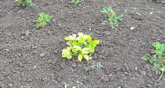 Белеют листья у клубники. фото