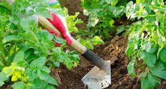 День Василиска: собираем целебные травы и начинаем окучивать картофель