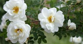 Свобориное дерево - отмечаем начало лета и собираем цвет шиповника