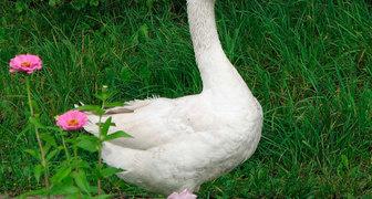 Никита Гусятник: ухаживаем за домашней птицей, заготавливаем удобрение