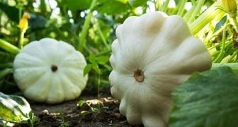 Патиссоны - выращивание и уход от выбора сорта до сбора урожая