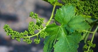 Листья винограда - полезные свойства, применение в кулинарии, рецепты