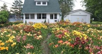 Лилии в саду - фото клумб, правила ухода для обильного цветения