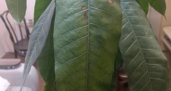 Что за болезнь у манго? фото