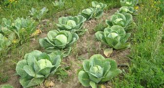День святого Пантелеймона - собираем урожай капусты и делаем заготовки