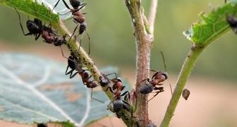 14 народных средств для защиты сада и огорода от нашествия муравьев