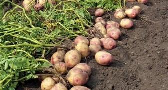 День успения Анны - убираем картофель и ухаживаем за кустарниками