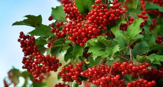 Калинник - ухаживаем за плодовыми деревьями и заготавливаем калину