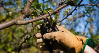 Формирование кроны груши - регулируем обрезкой рост и развитие дерева